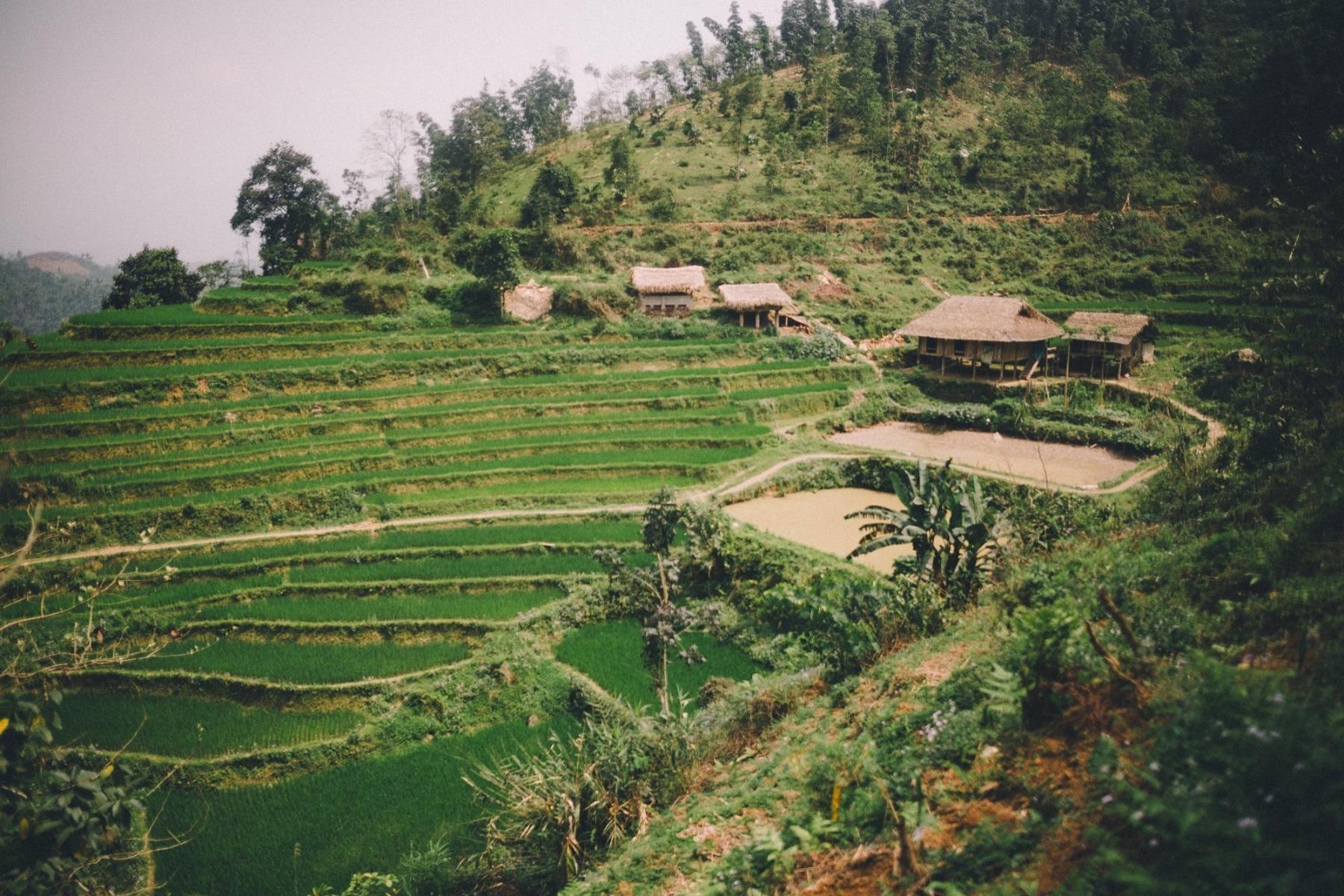 Reisplantage Vietnam